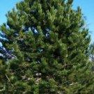 10+ Pinus Nigra Austriaca ( Austrian Pine ) seeds