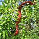 10+ Gleditsia Triacanthos ( Thornless Honeylocust ) seeds