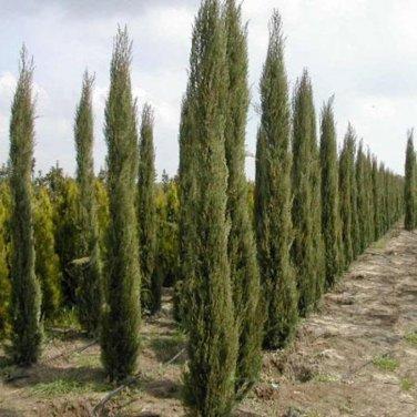 30+ Cupressus Sempervirens Stricta ( Italian Cypress ) seeds