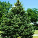10+ Picea Pungens Glauca ( Blue Spruce ) seeds