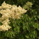 20+ Syringa Pekinensis ( Peking Lilac ) seeds