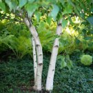 50+ Betula Fontinalis / Occidentalis ( Water Red Birch ) seeds
