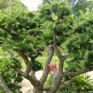 200+ Larix Kaempferi Leptolepis ( Japanese Larch ) seeds. FREE S&H