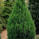 20+ Thuja Orientalis Compacta ( Nana Chinese Arborvitae ) seeds