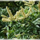 10+ Maackia Amurensis ( Amur Maackia ) seeds