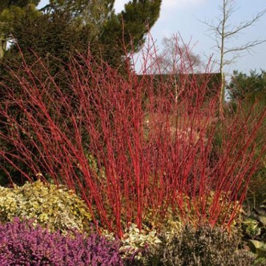 10+ Cornus Alba ( Red Barked Dogwood ) seeds