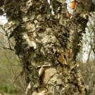 60+ Betula Tianschanica ( Tianan Birch ) seeds