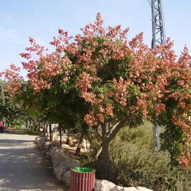 20+ Koelreuteria Bipinnata ( Chinese Flametree ) seeds