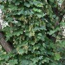 20+ Humulus Lupulus ( Beer Hops ) seeds