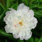 5+ Paeonia Lactiflora ( Garden Peony ) seeds