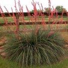 5+ Hesperaloe Parviflora ( Red Yucca ) seeds