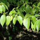 10+ Eucommia Ulmoides ( Hardy Rubber Tree ) seeds