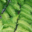 10+ Metasequoia Glyptostroboides ( Dawn Redwood ) seeds
