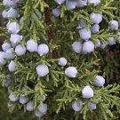 40+ Juniperus Osteosperma ( Utah Juniper ) seeds