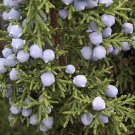 20+ Juniperus Osteosperma ( Utah Juniper ) seeds