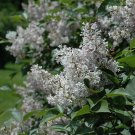 15+ Syringa Villosa ( Late Lilac ) seeds