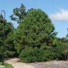 10+ Pinus Ponderosa ( Ponderosa Pine ) seeds