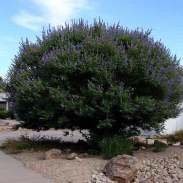 10+ Vitex Agnus castus ( Lilac Chaste Tree ) seeds