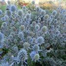 25+ Eryngium Planum ( Blue Eryngo ) seeds