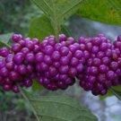 15+ Callicarpa Americana ( American Beautyberry ) seeds