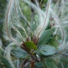 10+ Cercocarpus Montanus ( Mountain Mahogany ) seeds
