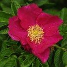 30+ Rosa Rugosa Rubra ( Red Rugosa Rose ) seeds