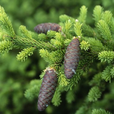 40+ Picea Obovata ( Siberian Spruce ) seeds