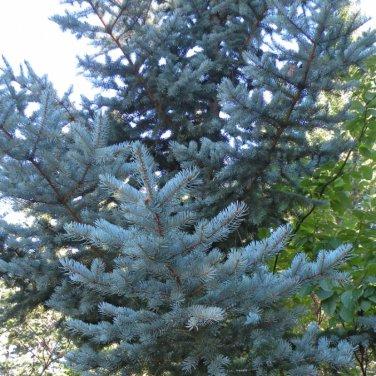 20+ Picea Meyeri ( Meyer's Spruce ) seeds
