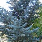 10+ Picea Meyeri ( Meyer's Spruce ) seeds