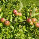 10+ Malus Sylvestris ( Wild Crab Apple ) seeds. FREE S&H