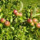 10+ Malus Sylvestris ( Wild Crab Apple ) seeds