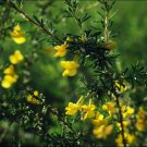 25+ Caragana Microphylla ( Littleleaf Peashrub ) seeds