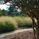 400+ Eragrostis Trichodes ( Sand Lovegrass ) seeds. FREE S&H
