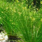 1500+ Juncus Effusus ( Soft Rush ) seeds. FREE S&H