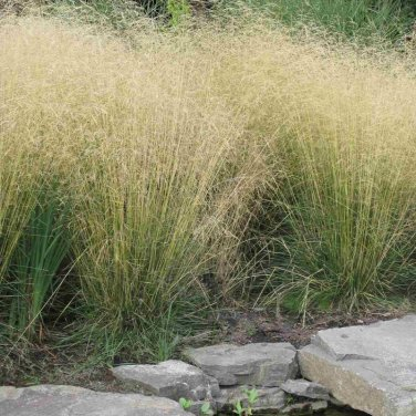 100+ Deschampsia Cespitosa ( Tufted hairgrass ) seeds