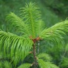 20+ Abies Pindrow ( Himalayan Fir ) seeds