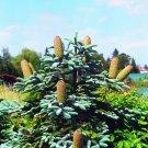 10+ Abies Nobilis Procera ( Noble Fir ) seeds