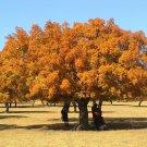 15+ Acer Elegantulum ( Elegant Maple ) seeds