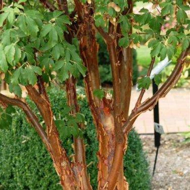 10+ Acer Griseum ( Paperbark Maple ) seeds