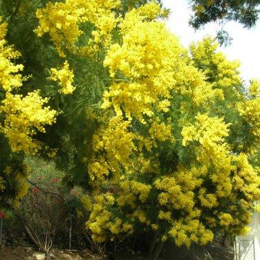 5+ Acacia Decurrens ( Green Wattle Acacia ) seeds