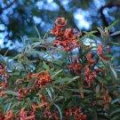 50+ Acacia Melanoxylon ( Blackwood Acacia ) seeds