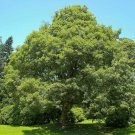 20+ Acer Pseudoplatanus ( Sycamore Maple ) seeds