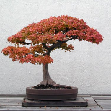 15+ Acer Buergerianum ( Trident Maple ) seeds