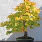 30+ Alnus Japonica ( Japanese Alder ) seeds