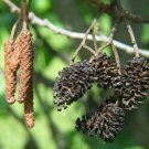 10+ Alnus Glutinosa ( Black Alder ) seeds