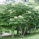 15+ Aralia Spinosa ( American Angelica Tree ) seeds