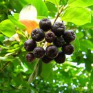 200+ Aronia Melanocarpa ( Black Chokeberry ) seeds. FREE S&H
