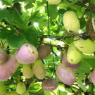 20+ Akebia Trifoliata ( Threeleaf Akebia ) seeds