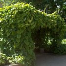 5+ Aristolochia Durior ( Dutchman's Pipe ) seeds