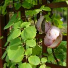 10+ Akebia Quinata ( Chocolate Vine ) seeds